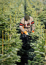 © under license to London News Pictures. 28/11/2010. A farm worker prunes Christmas trees ahead of the rush on sales.  Staff at the Christmas Tree Farm open for business a week early today (Sunday) to take advantage of the good Christmas cheers brought on by the Winter Weather. The Christmas Tree Farm, Chesham,  have been retailing Christmas trees for 22 years and growing them for 18 years. Photo credit should read: Stephen Simpson/LNP