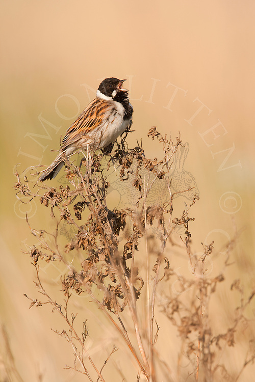 Reed Bunting (Emberiza schoeniclus) adult male singing from perch in reed bed, Norfolk, UK.
