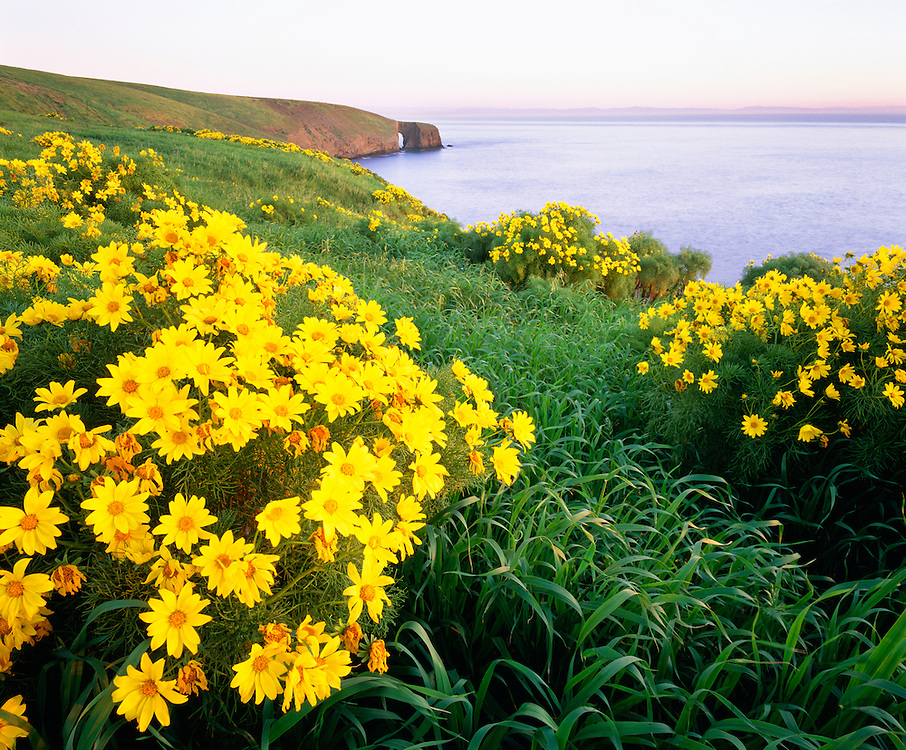 0603-1012B  ~  Copyright:  George H. H. Huey ~  Giant coreopsis [Coreopsis gigantea] in full bloom at sunrise on Santa Barbara Island, with Arch Point in distance.  Channel Islands National Park, California.