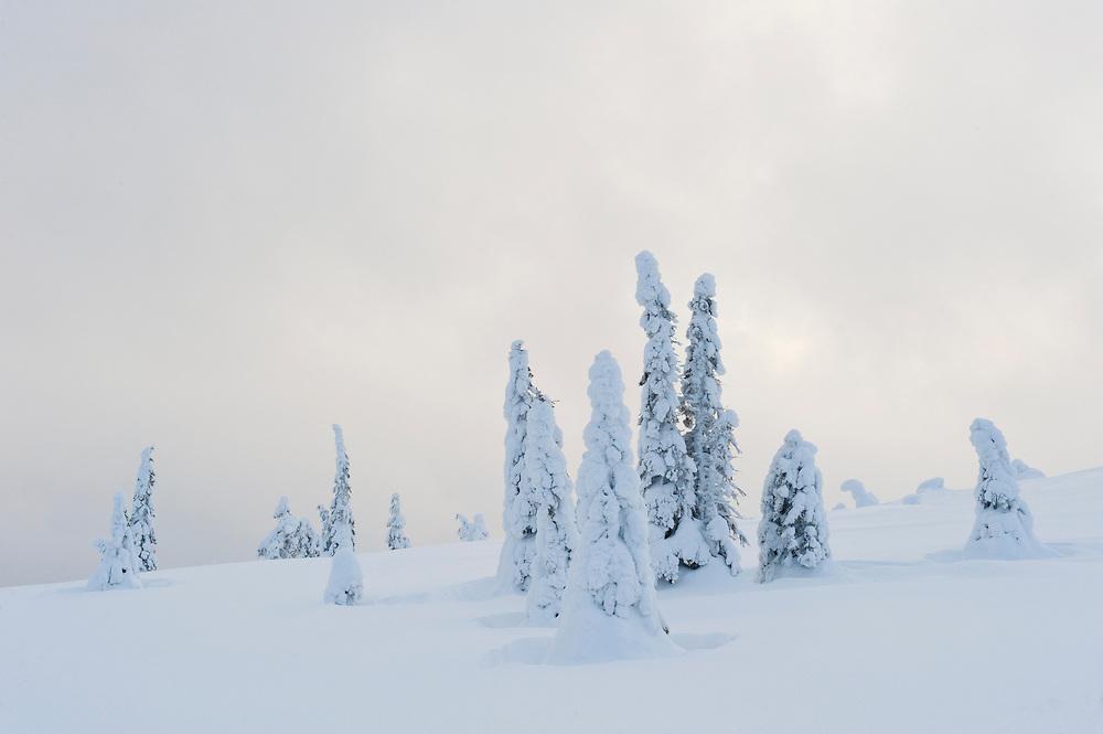 Tykky on trees in Riisitunturi, Finland