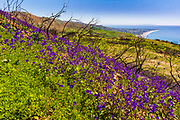 Wildflowers and fire damage above the Malibu Coast, Charmlee Wilderness Park, Malibu, California USA