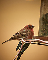 House Finch at a bird feeder. Image taken with a Nikon D5 camera and 600 mm f/4 VR lens (ISO 900, 600 mm, f/4, 1/1250 sec).