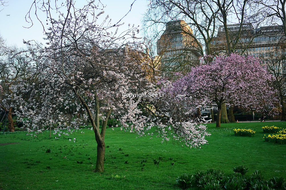 Weather: First day of Spring Cherry Blossom in St James Park,London,UK. by See Li