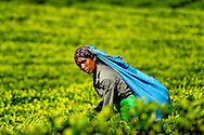a woman tea picker looking to the camera in Lipton tea plantation, haputale, Sri Lanka