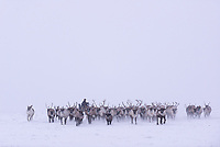 A Nenets nomad herds his reindeer using a snow machine.