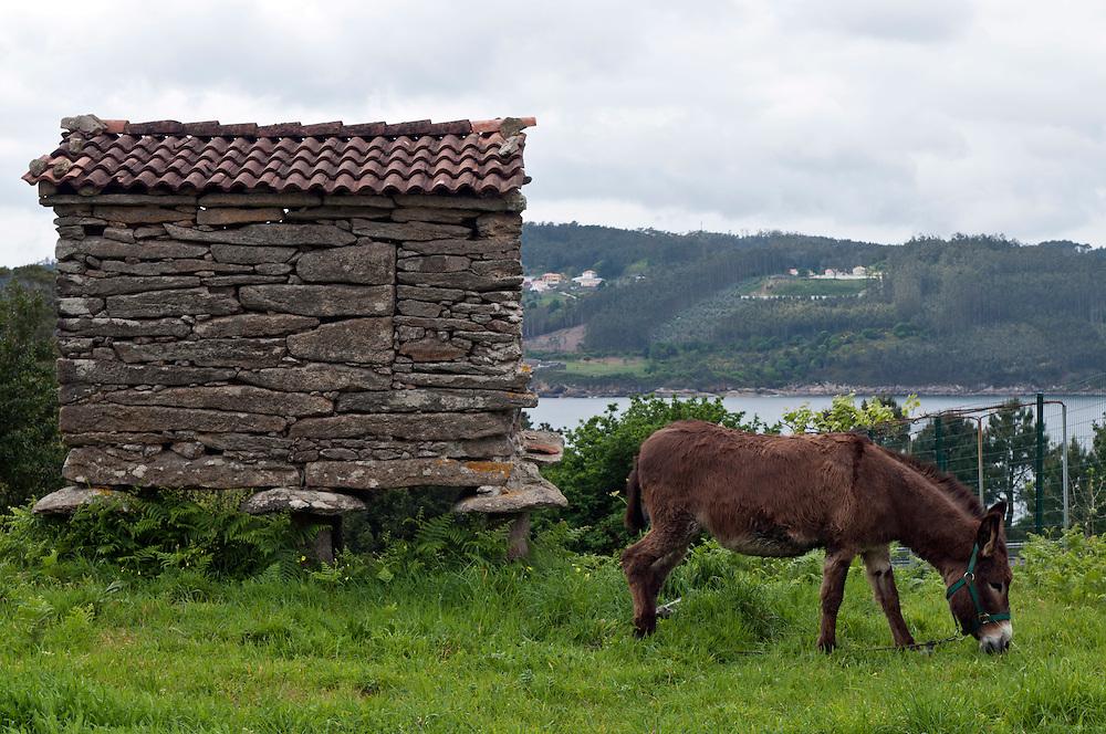 Spanien, Galizien Provinz A Coruña an der Atlantikküste Neben einem alten Vorratsspeicher  grast ein Esel
