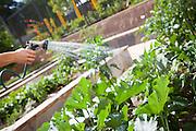 Watering Backyard Garden with Hose