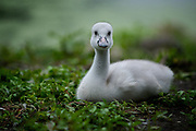 Young baby trumpeter swan cygnet enjoying some down time near his parents.  Original photo by KTM photo