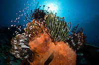 Feather Stars crowd a sponge top<br /> <br /> shot in Indonesia