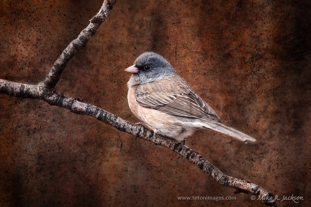 A Dark-eyed Junco on a branch in early Spring in Jackson Hole, Wyoming, executed with a textured background for a unique artistic effect.