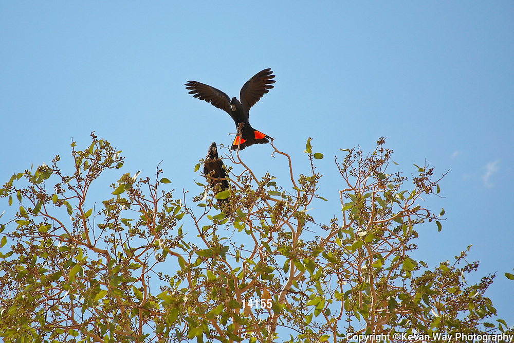 Black Cockatoos in a tree
