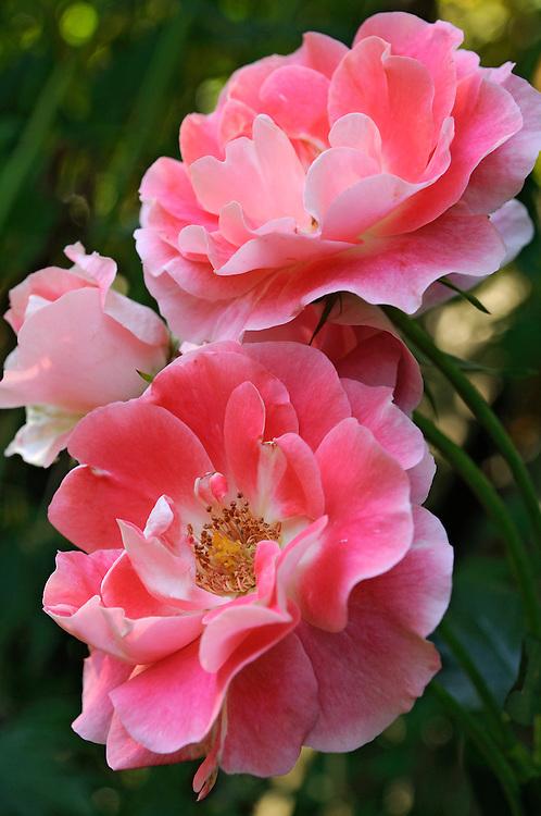France, Languedoc Roussillon, Lozère, Margeride, Ribennes, château de Combettes, monument historique, le jardin, roses Rush