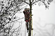 Nederland, Ubbergen, 26-1-2015 Een hovenier, boomzager, verwijderd een uit een tuin. Van onder naar boven werkend zaagt hij de zijtakken eraf en daarna weer naar beneden om de stam te korten. Het laatste stuk wordt omgetrokken. De oude boom werd een gevaar voor de woning en kon bij storm of zware windstoten op het huis vallen. FOTO: FLIP FRANSSEN