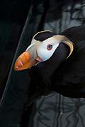 A puffin at the Alaska SeaLife Center, aquarium and marine mammal rehabilitation facility, Resurrection Bay, Seward, Alaska, USA<br /> <br /> Photographer: Christina Sjogren<br /> <br /> Copyright 2018, All Rights Reserved