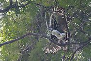 An adult harpy eagle (Harpia harpyja) preparing to take off with its sloth prey. Kanuku Mountains - Guyana.
