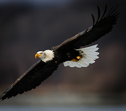 A bald eagle (Haliaeetus leucocephalus) soars above the Chilkat River in the Alaska Chilkat Bald Eagle Preserve near Haines, Alaska. During late fall, bald eagles congregate along the Chilkat River to feed on salmon. This gathering of bald eagles in the Alaska Chilkat Bald Eagle Preserve is believed to be one of the largest gatherings of bald eagles in the world.
