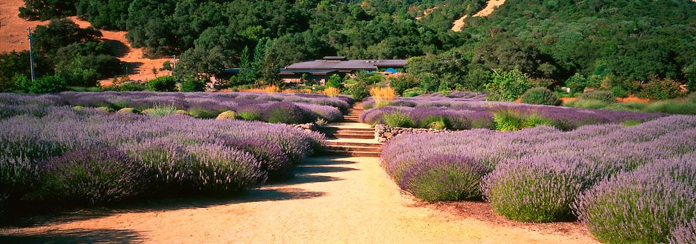 Lavender beds at Matanzas Creek winery, Sonoma County, California