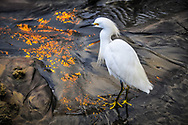This is a picture of a Snowy Egret walking in the sand.<br />