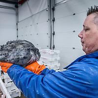 Nederland, Den Helder, 18 maart 2016.<br /> Visafslag bij Den Helder.<br /> De verse vis wordt geselecteerd en schoongemaakt voordat het verhandeld wordt.<br /> Op de foto: Ronald Dijkshoorn  van Dijkshoorn Visspecialiteiten aan de Baljuwstraat in Den Helder.<br /> <br /> The Netherlands, Den Helder, 18 march 2016<br /> Fish processing for auction in Den Helder.The fresh fish is selected and cleaned before it is marketed. In the photo Ronald Dijkshoorn of Dijkshoorn Fish specialities on the Baljuwstraat in Den Helder. <br /> <br /> <br /> Foto: Jean-Pierre Jans