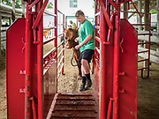 26 JUNE 2019 - CENTRAL CITY, IOWA: A boy guides his beef cattle into the scales at the beef check in at the Linn County Fair. Summer is county fair season in Iowa. Most of Iowa's 99 counties host their county fairs before the Iowa State Fair, August 8-18 this year. The Linn County Fair runs June 26 - 30. The first county fair in Linn County was in 1855. The fair provides opportunities for 4-H members, FFA members and the youth of Linn County to showcase their accomplishments and talents and provide activities, entertainment and learning opportunities to the diverse citizens of Linn County and guests.       <br /> PHOTO BY JACK KURTZ
