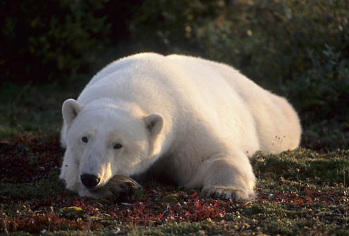 Polar Bear, (Ursus maritimus) Late fall. Churchill, Manitoba. Canada. Resting on tundra.