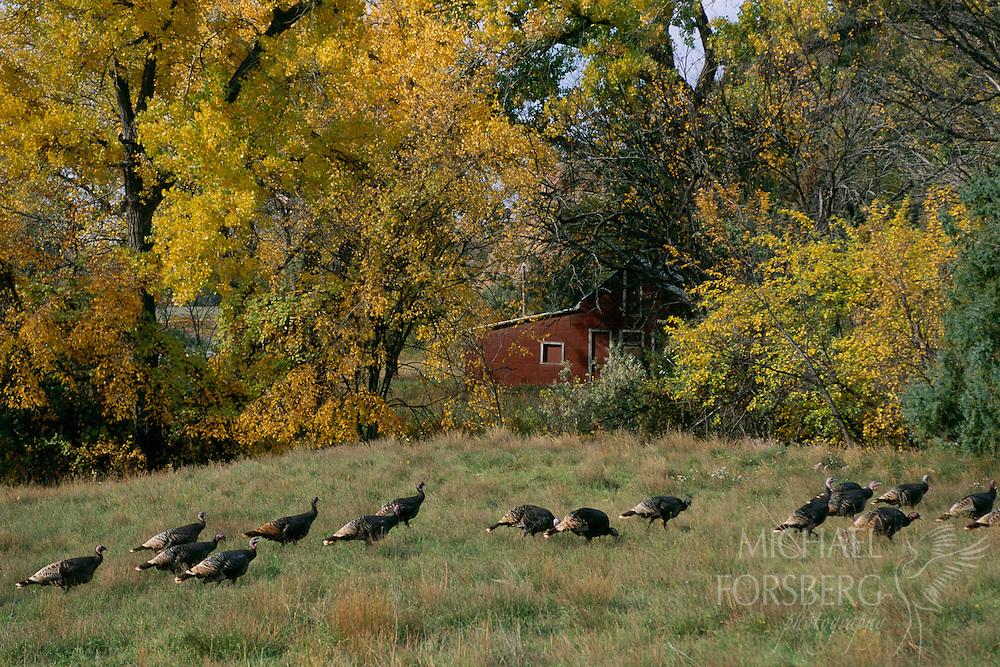 Southern Black Hills, South Dakota In a time-honored tradition, fall flocks of wild turkey daily leave their morning tree-top roosts to saunter through grassy meadows and streamside woodlands on a daily scavenger hunt for late season grasshoppers, cedar berries and other morsels they can reap from autumns harvest. Soon, aspen gold will fade to gray, winter snows will fly and the turkeys will retreat to the shelter of the pine woodlands to wait out the winter.