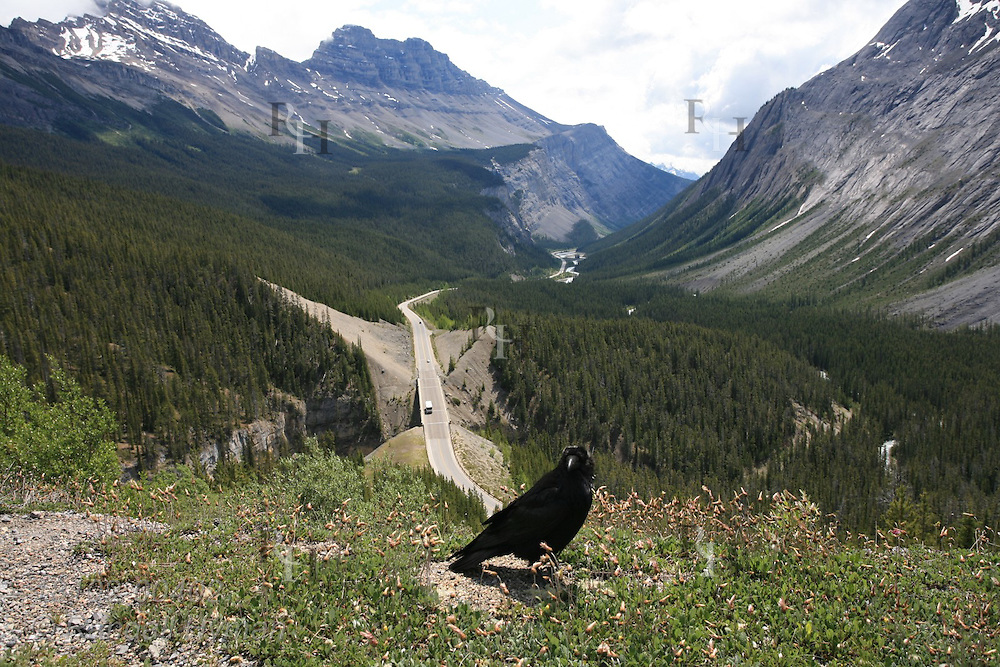 Raven perches along road overlooking the Icefields Parkway and North Saskatchewan River in Banff National Park; Alberta, Canada.