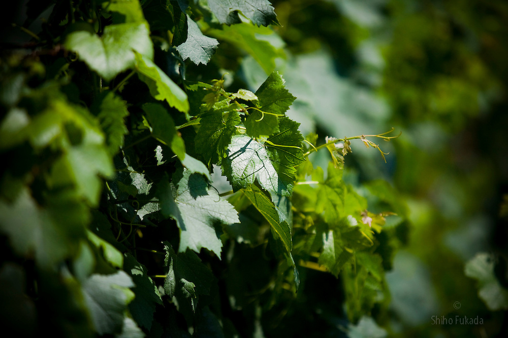 Grape trees are seen in the Huadong Winery in Qingtao, China, June 23, 2009.