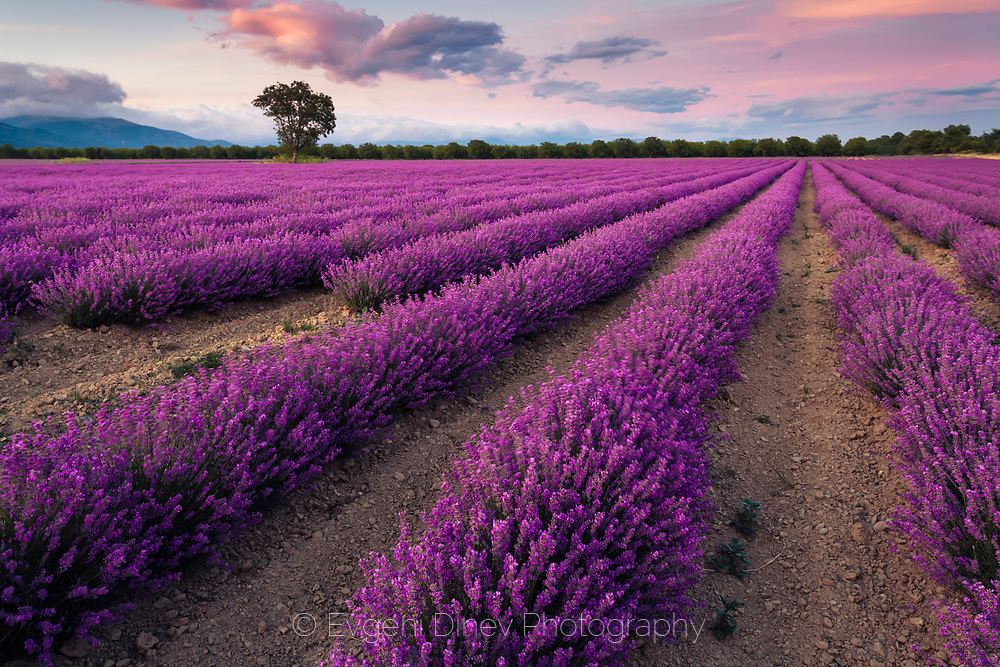 Splendid lavender field in Thracian valley