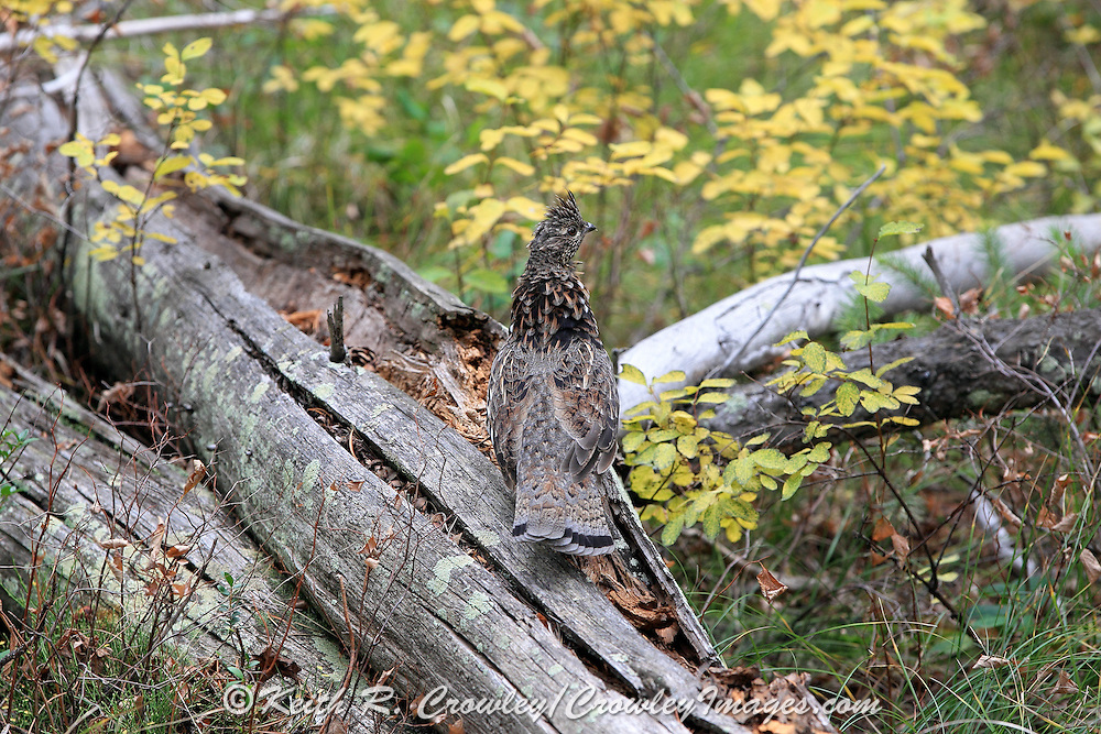 Ruffed Grouse in Brilliant Fall Colors