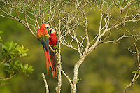 Scarlet Macaws (Ara macao) near the canopy tower at the Tiputini Biodiversity Station, Orellana Province, Ecuador