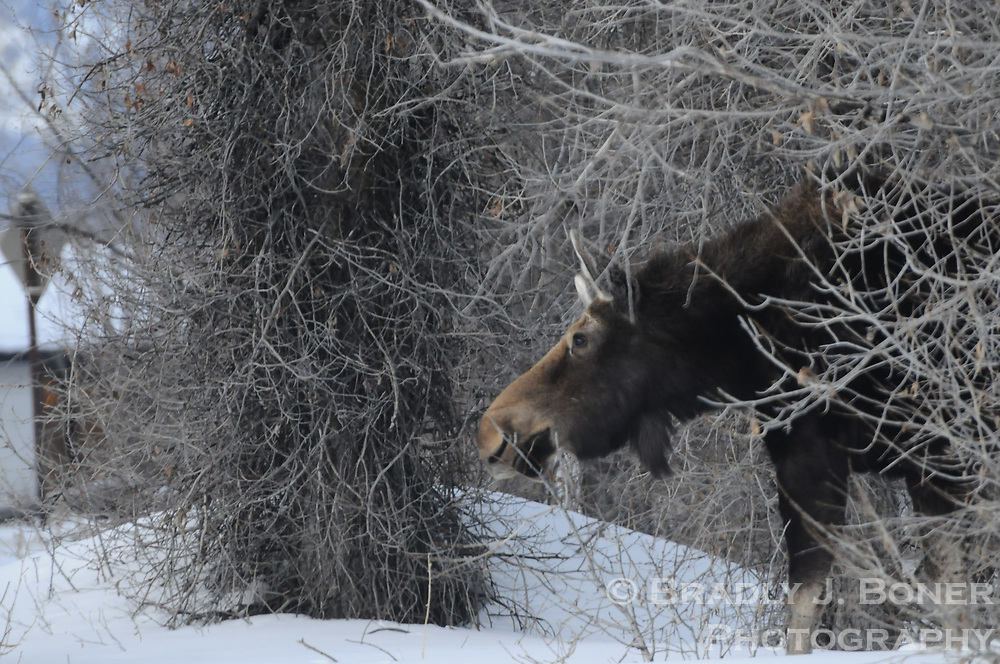 Moose and calf on Spring Gulch Road