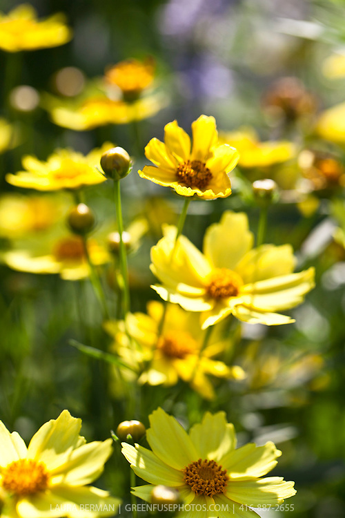 Big Bang series coreopsis Full Moon (Coreopsis 'Full Moon')