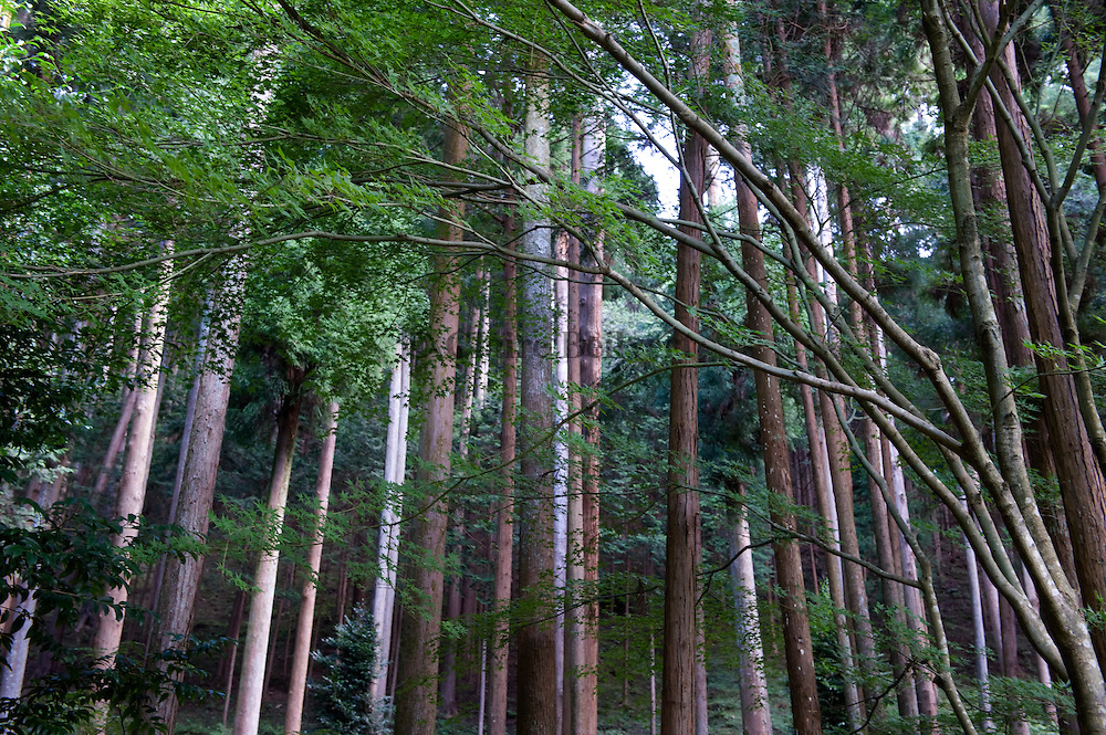 Trees in Kyoto City, Japan