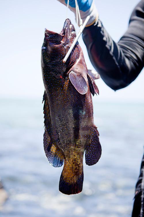 Kawika Auld with catch, roi, access 56, Lalamilo ahupuaa, South Kohala, Big Island, Hawaii