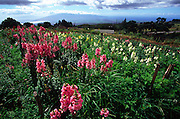 Flower Farm, Kula, Maui, Hawaii<br />
