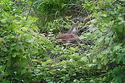 A wild ten day old rocky mountain elk calf (Cervus elaphus nelsoni) hiding in tall grass in the Sled Springs Elk Research Area