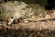 Didelphis virginiana (Virginia Opossum): Mammalia: Didelphimorphia: Didelphidae<br /> taken with infrared triggered camera trap<br /> TEXAS: Travis Co.<br /> Brackenridge Field Laboratory; Austin<br /> 5-Nov-2008<br /> J.C. Abbott