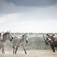 A white rhino meets four zebra in Solio, Kenya