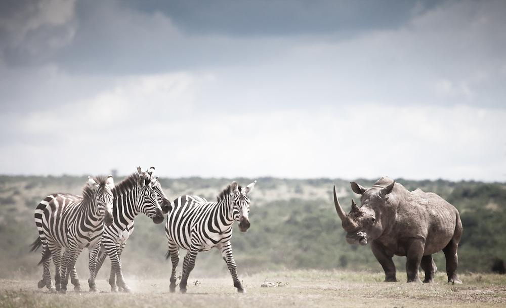 A white rhino meets four zebra in Solio, Kenya