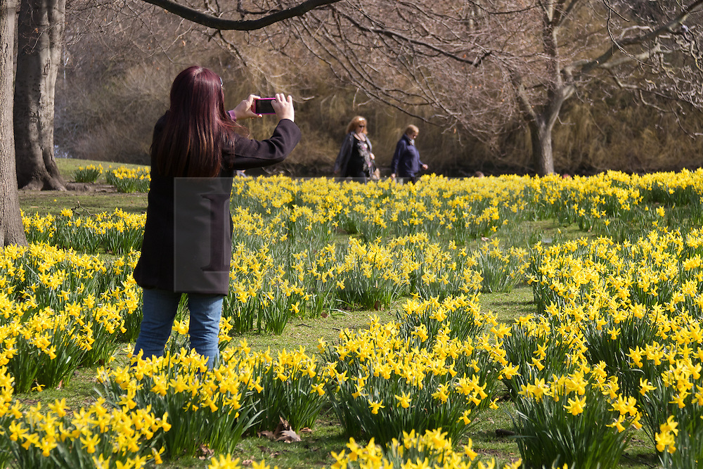 © Licensed to London News Pictures. 10/03/2015. London, UK. A woman photographs daffiodils during sunny spring weather in St James's Park in London today. Photo credit : Vickie Flores/LNP