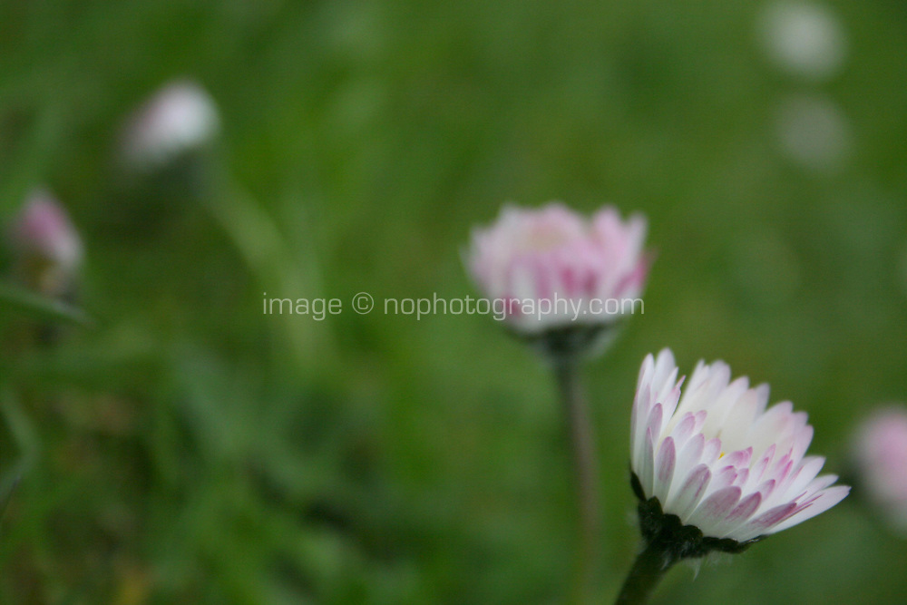 Close up of daisy flower