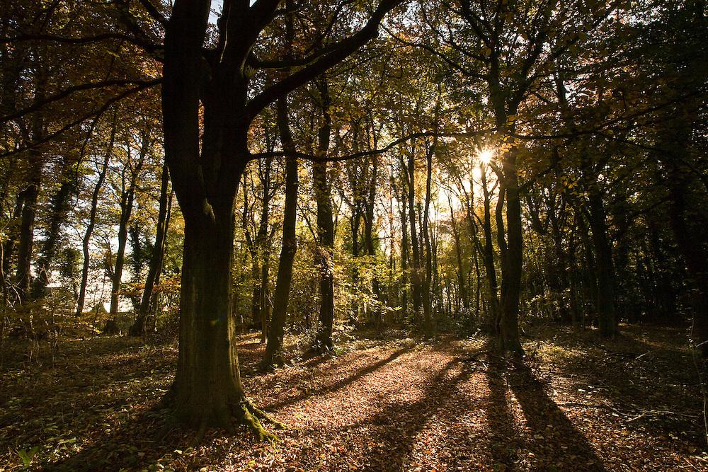 Autumnal Beech Woodland (Fagus sylvatica), Gloucestershire, UK