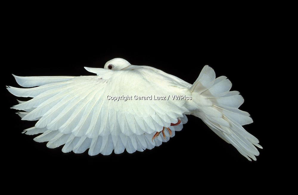 White Dove, columba livia, Adult in Flight against Black Background