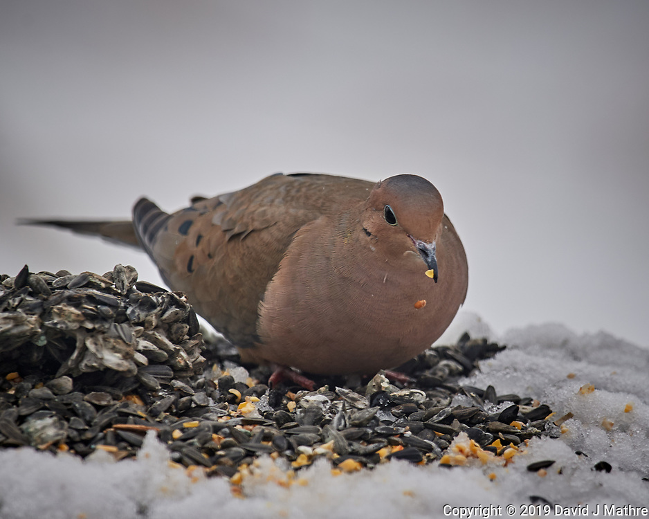 Mourning Dove Lunch in the Snow. Image taken with a Nikon D5 camera and 600 mm f/4 VR lens (ISO 200, 600 mm, f/5.6, 1/640 sec).