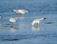 Ring-billed Gull (Larus delawarensis), Crescent Beach, Nova Scotia, Canada