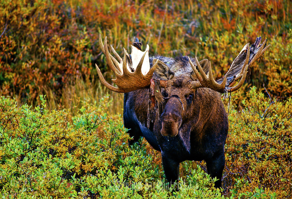 Bull moose shedding velvet - Alaska.
