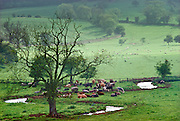 Herd of cows in a Cotswold field by meandering river, England, United Kingdom