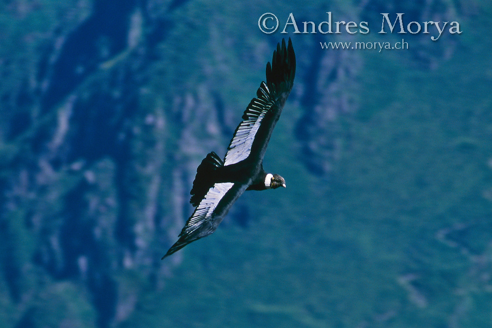 Andean Condor (Vultur gryphus), Chile Image by Andres Morya