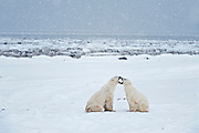 Polar bears sparring Ursus maritimus on frozen tundra<br /> Churchill<br /> Manitoba<br /> Canada